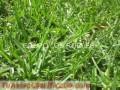 VENTA DE GRASS AMERICANO EN SEMILLAS